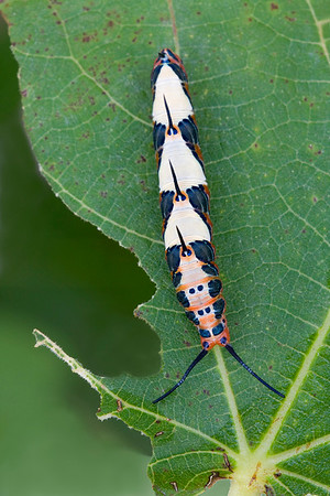 Ruddy Daggerwing caterpillar