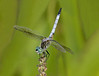 Blue Dasher male in obelisk pose