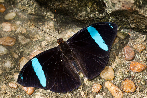 Aglaura, Common Olivewing