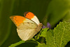 Orange Tip, native to Africa