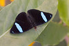 Common Olivewing, Nessaea aglaura, top wing view