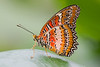 Red Lacewing, Cethosia biblis