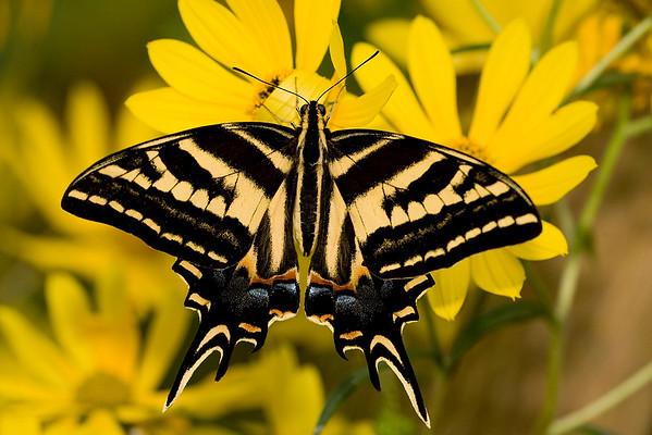 Three-tailed Swallowtail