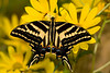 Three-tailed Swallowtail