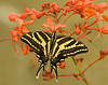 Exotic Butterflies : These butterfies are a real challenge.  I hope to get to Costa Rica in 2009 to try and get some in their native environment. Please let me know if any identifications are in error.  Prints of these images may be ordered as most original Tiffs are at least 65 MB in size. Plese contact me for ordering. 