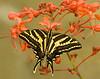 Three-tailed Swallowtail,  papilio pilumnus