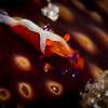Imperator Shrimp on Sea Cucumber