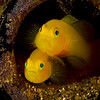 Yellow Pygmy Gobies