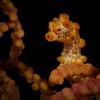 Bargibanti Pygmy Seahorse