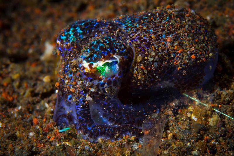 Bobtail Squid Camo