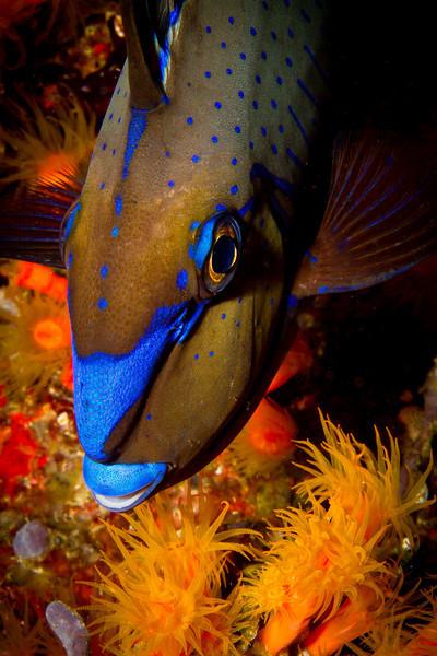 Blue Angel Fish?