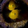 Yellow Pygmy Gobies (Lubricogobius exiguous)