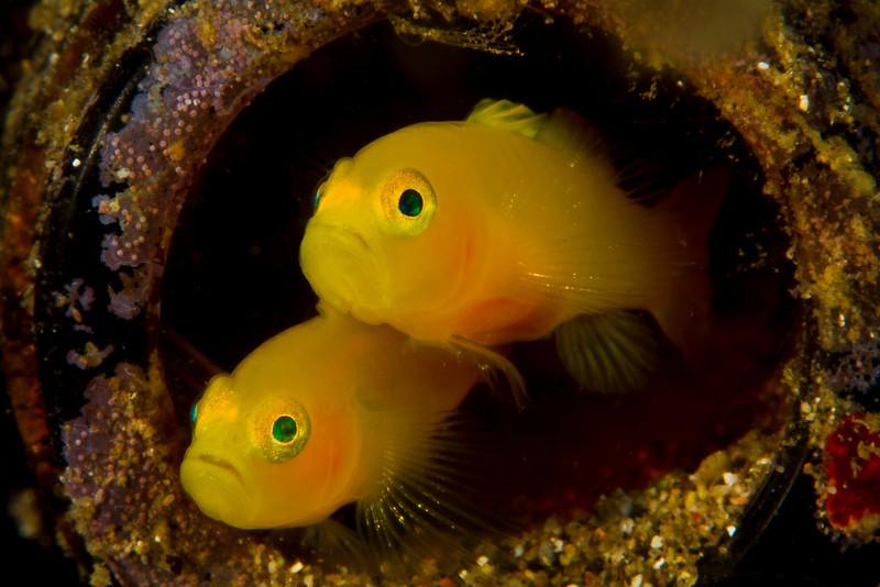 Yellow Pygmy Gobies