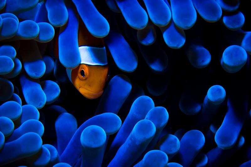 Hiding Anemonefish