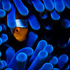 Hiding Anemonefish