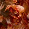 Filtering Porcelain Crab