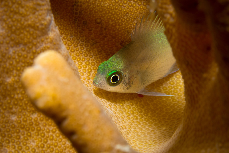 Green Fish in Hard Coral