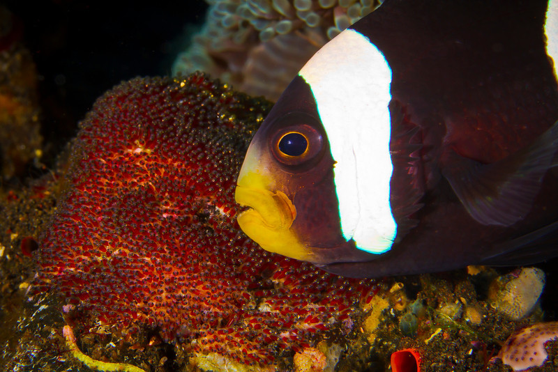 Anemone Fish with Eggs