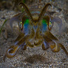Bigfin Reef Squid (Sepioteuthis lessoniana)