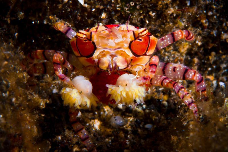 Boxing Crab