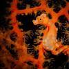 Denise Pygmy Seahorse