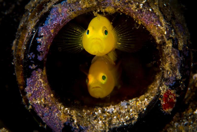 Yellow Pygmy Gobies (Lubricogobius exiguous,)