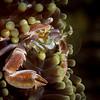 Porcelain Crab Filtering