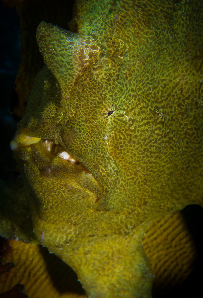 Giant Frog Fish