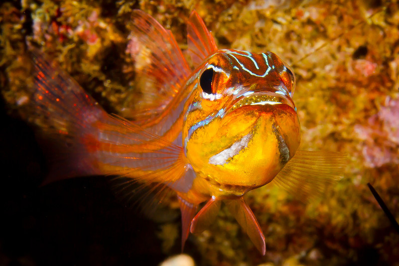 Cardinal Fish with Eggs