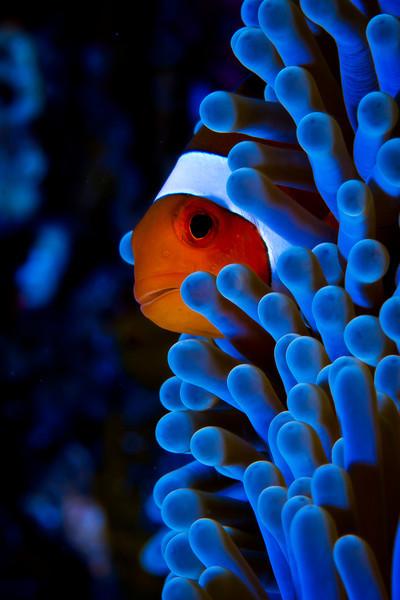 Sneaky Anemonefish