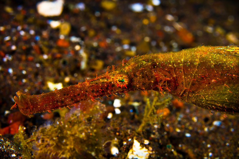 Hairy Ghost Pipefish