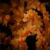 Orange Bargibanti Pygmy Seahorse