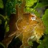 Cuttlefish