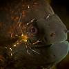 Yellow Morey with Cleaner Shrimp