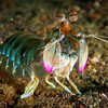 Smashing Mantis Shrimp