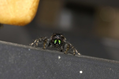 Tiny jumping spider, no larger than a nickel