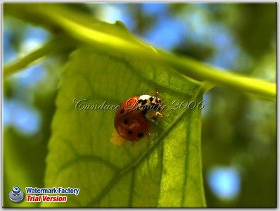 Lady Bug (Lady Beetle) laying eggs