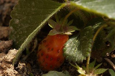 Teeny Strawberry