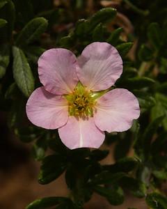 First Potentilla bloom