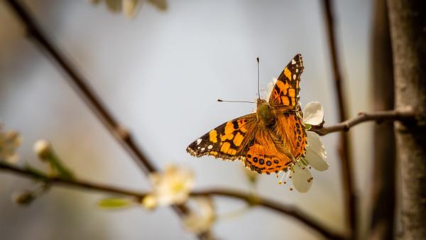 Butterfly Orick CA West Coast Lady 9774
