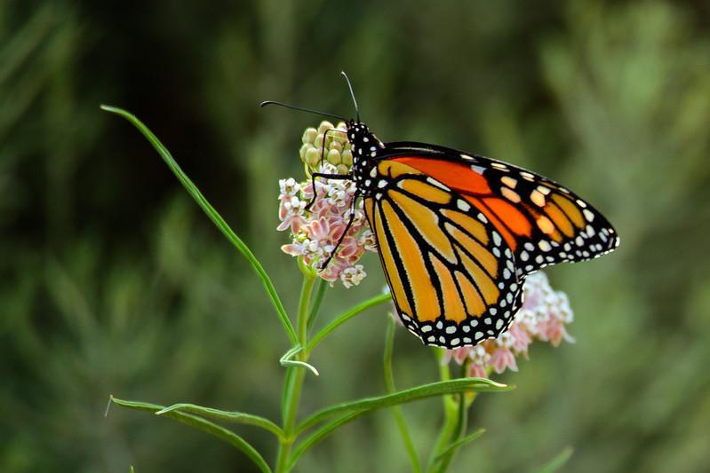 Monarch 8654