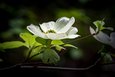 dogwood bloom 1227