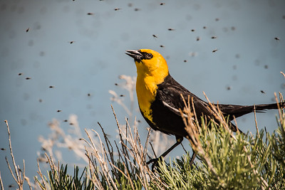 Yellow-headed blackbird with Mosquitos