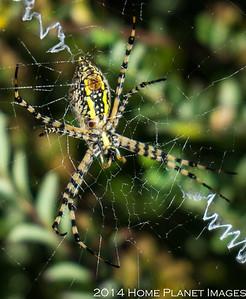 Garden Spider 0131