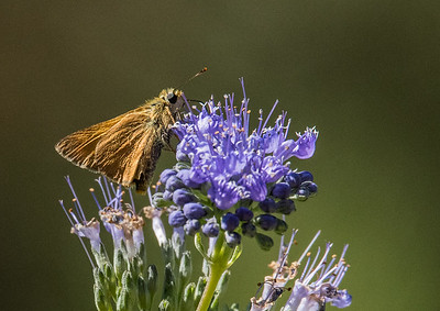 Tawney Edged Skipper