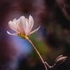 magnolia 0721