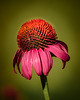 Pink Coneflower 8264