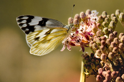Checkered White 8696