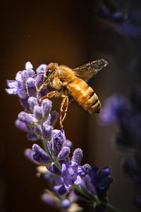 Honey Bee 7944