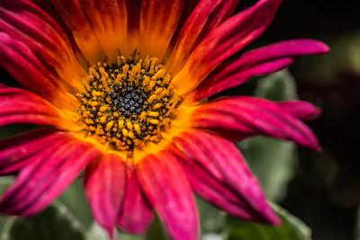 daisy flower 2406